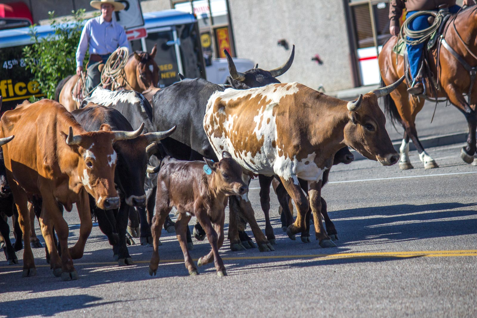 City Cattle Drive